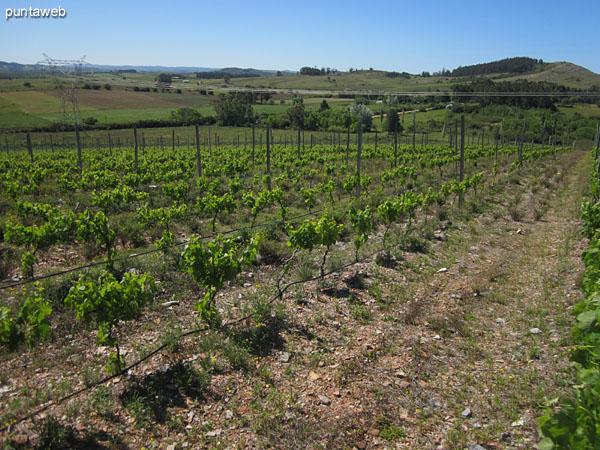 Vista general de la evolución de la viña en el sector principal.