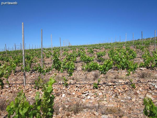 Vista de uno de los sectores de viñas desde el camino lateral hacia el norte.<br><br>Al fondo, el galpón.